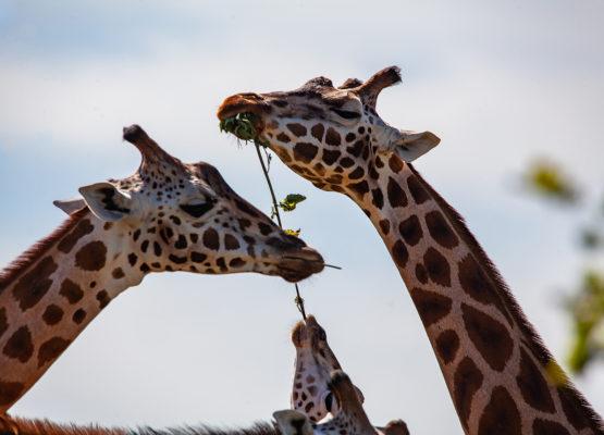karpacz-zoo-safarii-dvur-kralove02